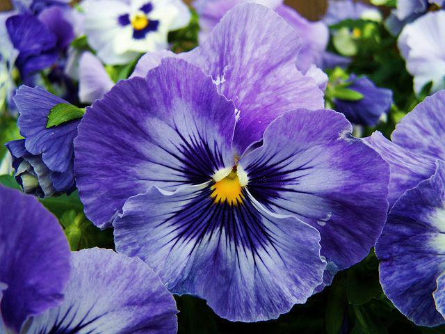 Blue And Purple Pansy, Flower Garden, Spring Flower