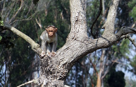 Bonnet Macaque, Baby, Fauna, Wild, Wildlife, Animal