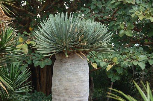 Canary Garden, Nature, Drago