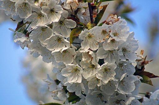 Flower, Cherry, Spring, Fruit Tree, Tree, Nature