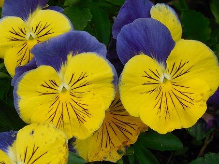 Flower, Pansy, Spring, Plant, Floral, Bloom, Garden