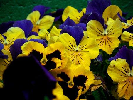 Flower, Pansy, Spring, Plant, Floral, Garden, Violet