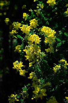 Broom, Flowers, Yellow, Sticky Glandular Broom