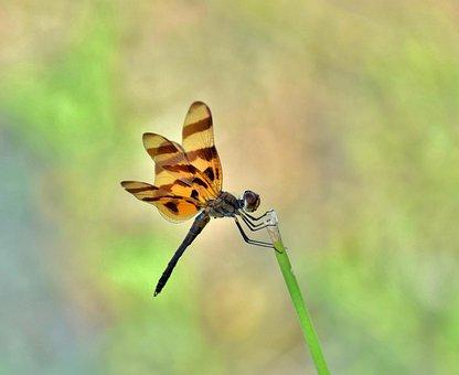 Dragonfly, Halloween Pennant