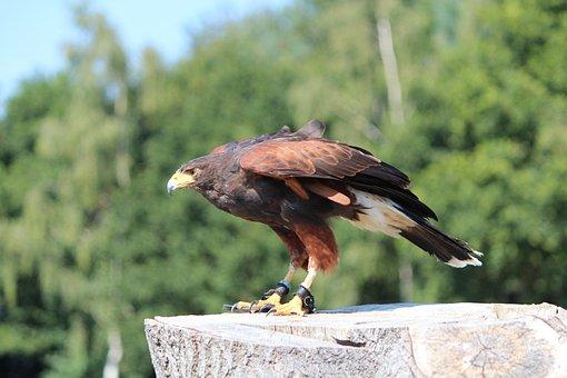 Harris Hawk, Buzzard, Raptor, Bird's Eye View