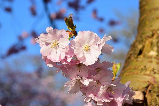 Cherry Blossom, Pink, Japanese Cherry Blossom, Flowers