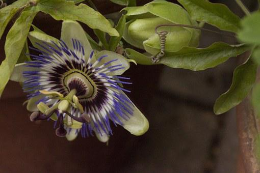 Passion Flower, Passion Plant, Hanging Down