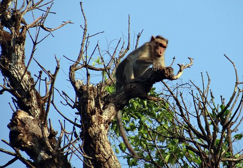Bonnet Macaque, Macaca Radiata, Monkey, Primate, Animal