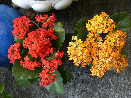 Flaming Käthchen, Flowers, Flower, Red, Yellow, Plant