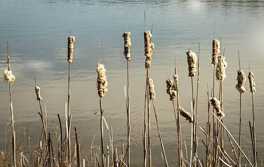 Cattails, Reeds, Bulrush, Punks, Cattail Seeds