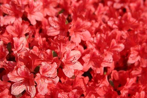 Azalea, Rhododendron Indicum, Royal Azalea