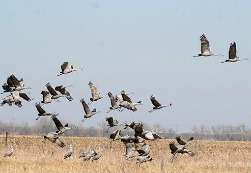 Sandhill Crane, Birdwatching, Bird, Crane, Sandhill