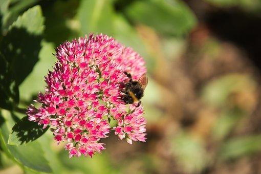 Stonecrop, Autumn Joy, Bee, Sedum Telephium, Garden