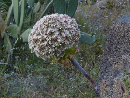 Inflorescence, Flowers, White, Spherical, Roly-poly