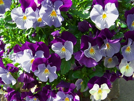 Purple-blue Pansy, Spring Flower, Flower Garden