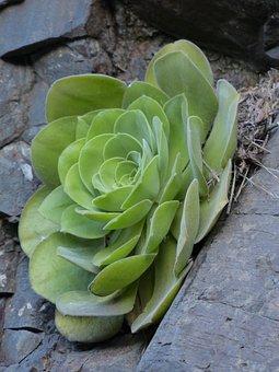 Aeonium Haworthii, Succulent, Plant, Leaves, Aeonium