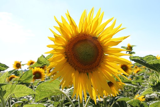 Sunflower, Yellow, France, Charente Maritime, Summer