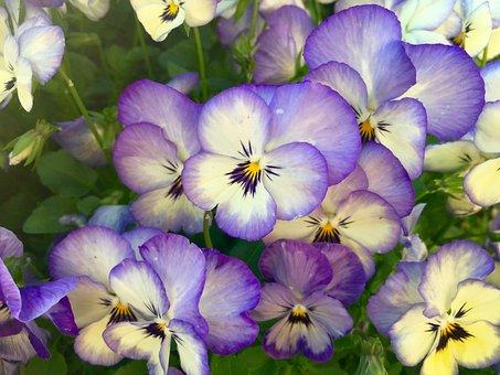 Flowers, Pansies, Close Up, Macro, Pansy, Spring, Viola