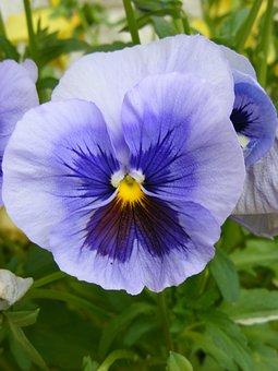 Flower, Pansy, Spring, Viola, Garden, Nature, Plant