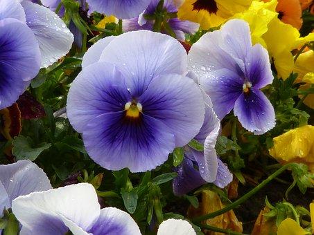 Stiefmütterche, Violet, Pansy, Blossom, Bloom, Plant