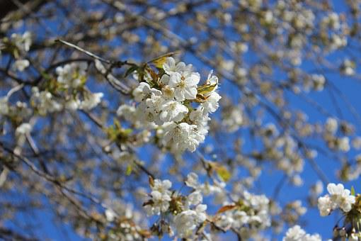 Cherry Trees, Close-up Flower, Spring, White Blossom