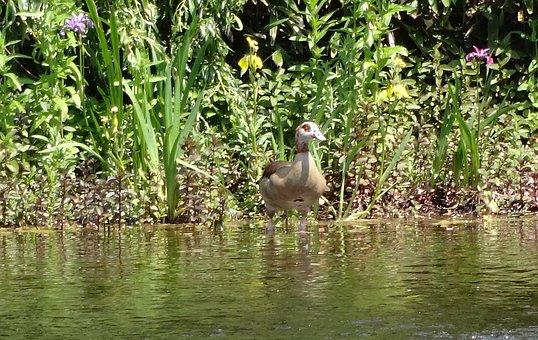 Nilgans, Alopochen Aegyptiacus, Aggressive, Pond, Lake