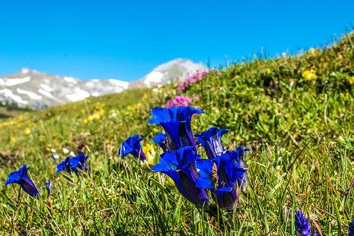 Gentian, Flower, Alm, Alpine Plant, Alpine Flower