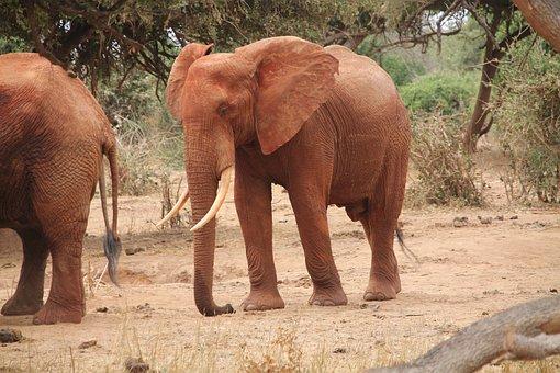 Elephant, Africa, Wildlife, Animal, Mammal, Trunk, Zoo