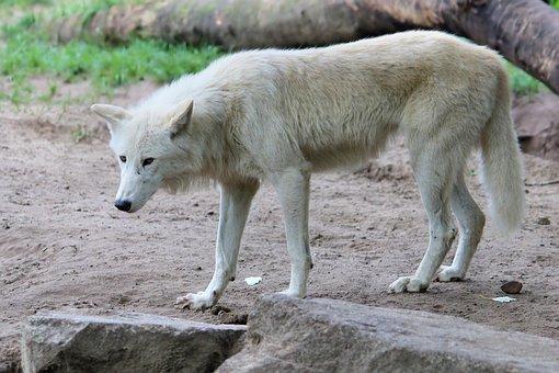 Wolf, Predator, Animal World, Zoo, Berlin