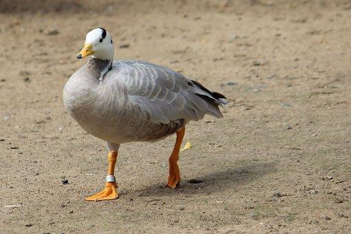 Snowgoose, Goose, Animal World, Zoo, Berlin