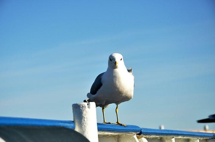 Seagull, Blue-sky, Blue, Sky, Bird, Standing