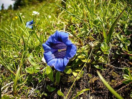 Gentian, True Alpine Gentian, Blue, Alpine Flower