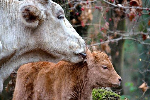Calf, Cow, Mom, Mom And Son, Animals, Cuddles