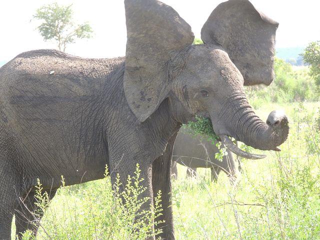 Elephant, Mammal, Wild, Safari, Zoo, African