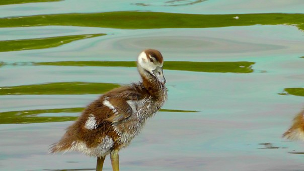 Small, Cute, Fluff, Young Bird, Nilgans, Young Animal