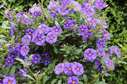 Flowers, Garden, Blue, Blossom, Bloom, Gentian