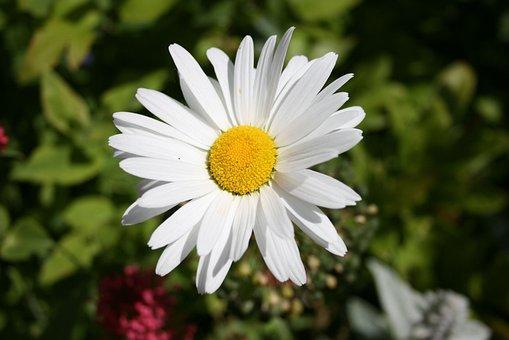 Daisy, Daisies, Flowers, Attractive, Garden, Plants
