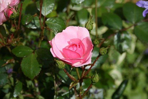 Pink, Flower, Rose, Garden, Attractive, Growing