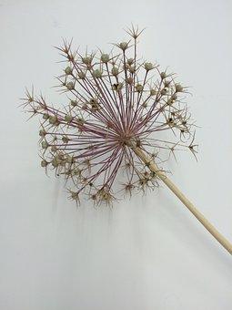 Allium, Seed Head, Flower, Nature, Garden, Head, Seed