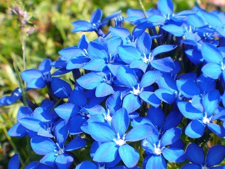 Gentian, Nature, Flower, Blue, Alpemblume, Blossom