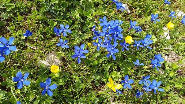 Gentian, Mountain Flowers, Gentiana Sierrae, Flower
