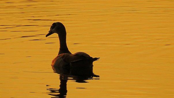 Golden Hour, Sunset, Water, Lake, Nilgans