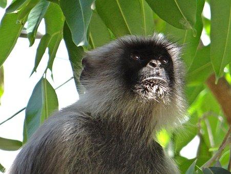 Langur, Monkey, Animal, Hanuman, Jamun Tree, Karnataka