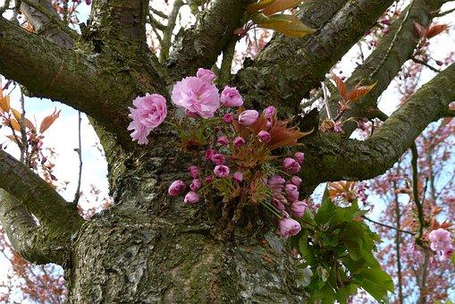 Berlin, Teltow, Cherry Blossom Park, Japanese Cherry