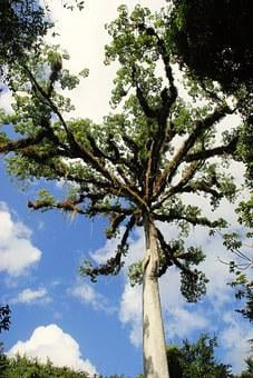 Guatemala, Ceibal, Rainforest, Kapok Tree, Epiphytic