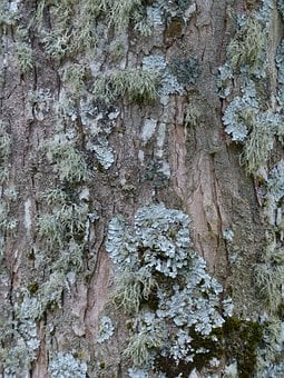 Lichen, Leaf Braid, Blue Grey, Parmelia Sulcata, Log