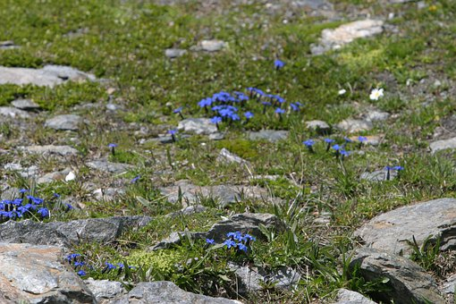 Gentian, Flowers, Nature, Plant, Summer
