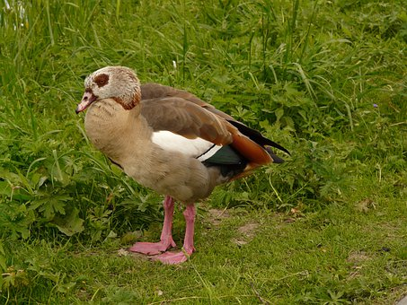 Nilgans, Goose, Alopochen Aegyptiacus, Half Goose