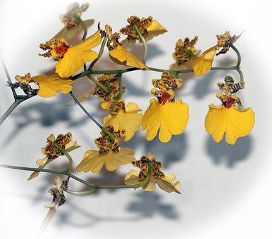 Oncidium, Dancing Lady, Orchid, Yellow, Blossom, Flower