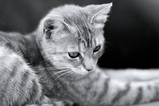 Cat, Kitten, Pet, Cute, Eyes, Feline, Hair